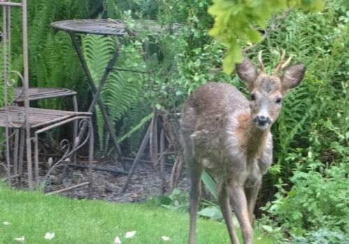 An enquisitive deer who visits us regularly.